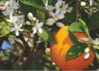 Oranges at Christmas?